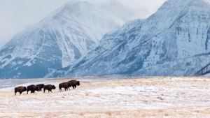 Bison are pictured in this file photo.