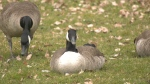 Vancouver to ramp up goose birth control