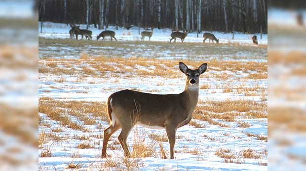 One of a herd of deer near Ochre River. Photo by Annie Hughes.