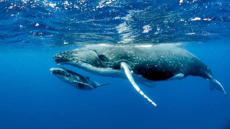 Humpback whales, shown here, are a species of baleen whales. (Shutterstock)