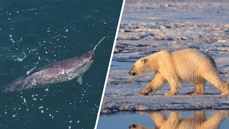 Polar bears, narwhals dying as climate changes