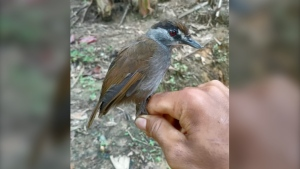 The black-browed babbler of Borneo captured in October 2020. (Photo provided: Global Wildlife Conservation)