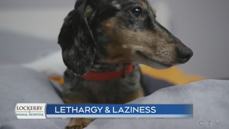 This could be causing your pet's lethary or lazine