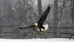 This Bald Eagle had a visit to my neighbour's field in a snow storm. I had to shoot photos from the car to keep from getting soaked. It was quite a thrill to see one of these beautiful birds so close to home! (Kat Durant/CTV Viewer)