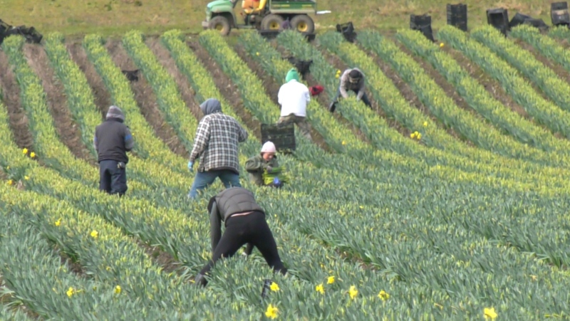 Domestic and foreign workers are seen picking daffodils at Longview Farms in Central Saanich: (CTV News)