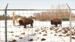 Saskatoon zoo welcomes new visitors