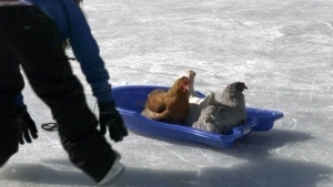 Skating chickens in Sault Ste. Marie