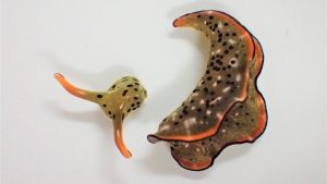This undated photo provided by Sayaka Mitoh shows a Elysia cf. marginata sea slug after autotomy. According to a study released in the journal Current Biology on Monday, March 8, 2021, scientists have discovered that some Japanese sea slugs can grow whole new bodies if their heads are cut off, taking regeneration to the most extreme levels ever seen. (Sayaka Mitoh via AP)