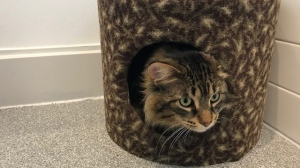 Lord Fluffy the cat moves into the Guelph Humane Society's new home (Tegan Versolatto / CTV News Kitchener)