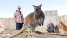 Pablo the wallaby was brought to Cobb's Adventure Park by owner Mike Sheppard after being taken from a north Calgary drug house.