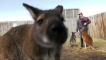 Pablo, an abused wallaby, has recovered and is thriving at an Alberta adventure park.