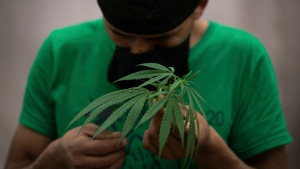 An activist of Planton 420, a group agitating for the legalization of marijuana, speaks to a marijuana plant at a camp outside of the country's Senate building in Mexico City, Thursday, July 16, 2020.  (AP Photo/Fernando Llano)