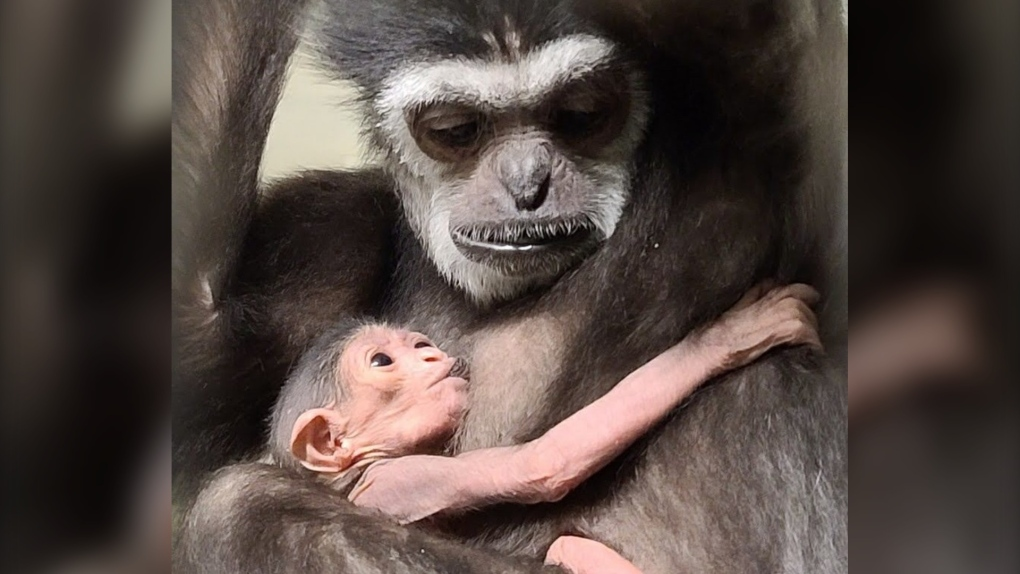 new baby gibbon