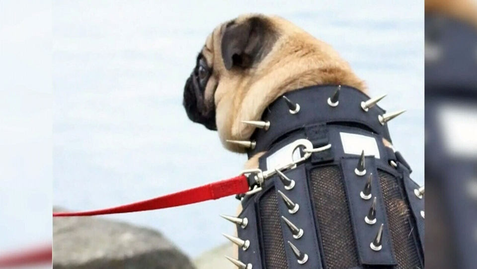 Spiked harness protects small dogs