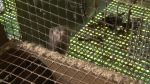 B.C. to let farms breed mink again