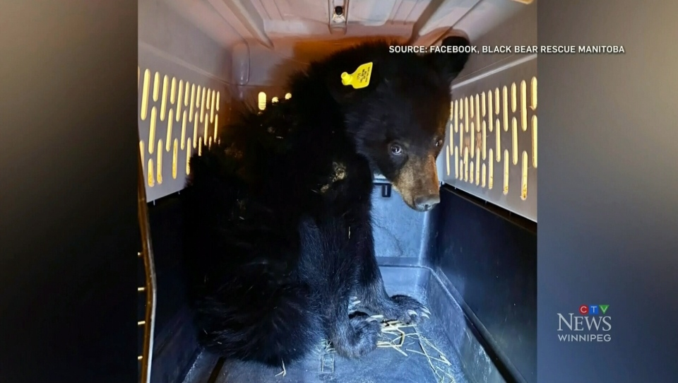 Black Bear Rescue Manitoba coming off busy year
