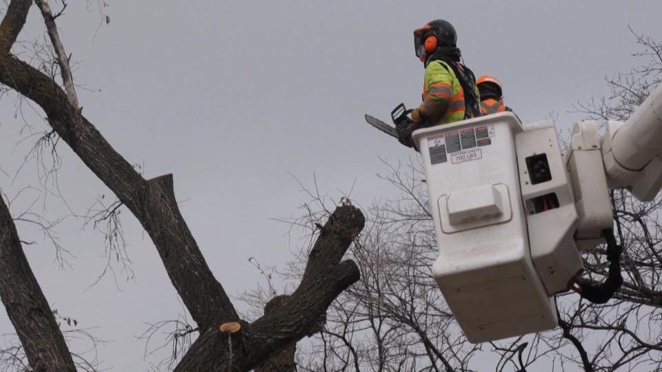 Dutch elm Disease Winnipeg