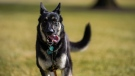 Champ, one of the dogs belonging to U.S. President Joe Biden and first lady Jill Biden, is seen in this file photo. (Adam Schultz/White House/CNN)