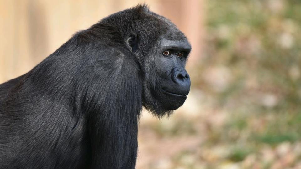 Yewande, Calgary Zoo, birth, gorilla,