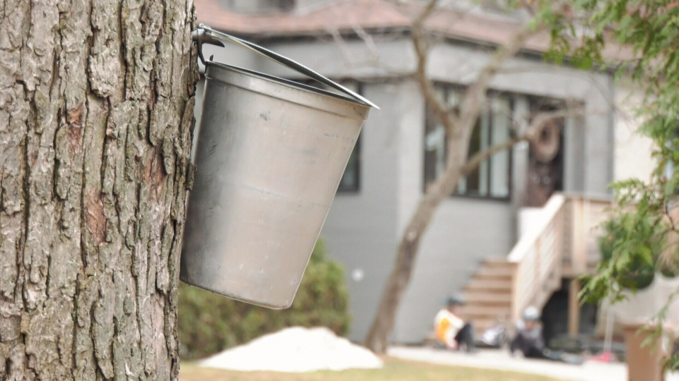 Montreal neighbours make maple syrup in yards