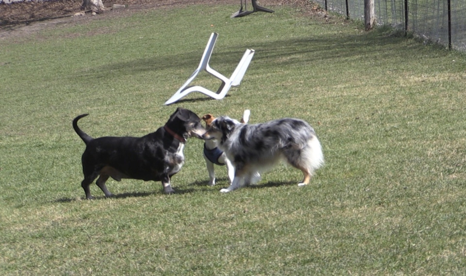 Puppies playing at Greenway Small Dog Park in London, Ont.