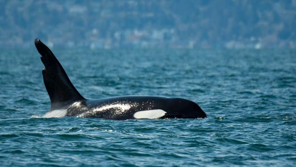 An orca named Chainsaw, named after its distinctive dorsal fin, is pictured off Vancouver Island: (April Ryan, Maya's Legacy Whale Watching/PWWA)