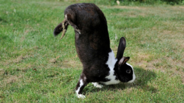 A genetic mutation causing these rabbits to walk on a handrail instead of jumping