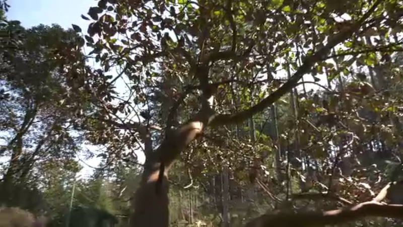 The arbutus is Canada's only broad-leaf evergreen tree and can be found along the coast from California to Campbell River. (CTV News)