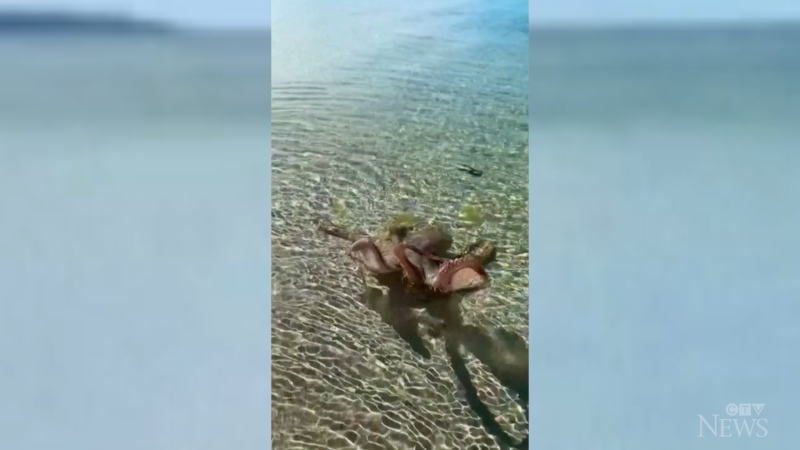 Octopus lashes out at man on Australia beach