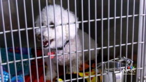 Unscrupulous dog breeders, unprepared buyers