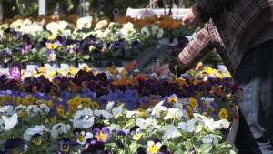Pansies for sale at Bradford Greenhouse Garden Gallery in Springwater, Ont. on Sun. April 4, 2021 (David Sullivan/CTV News)