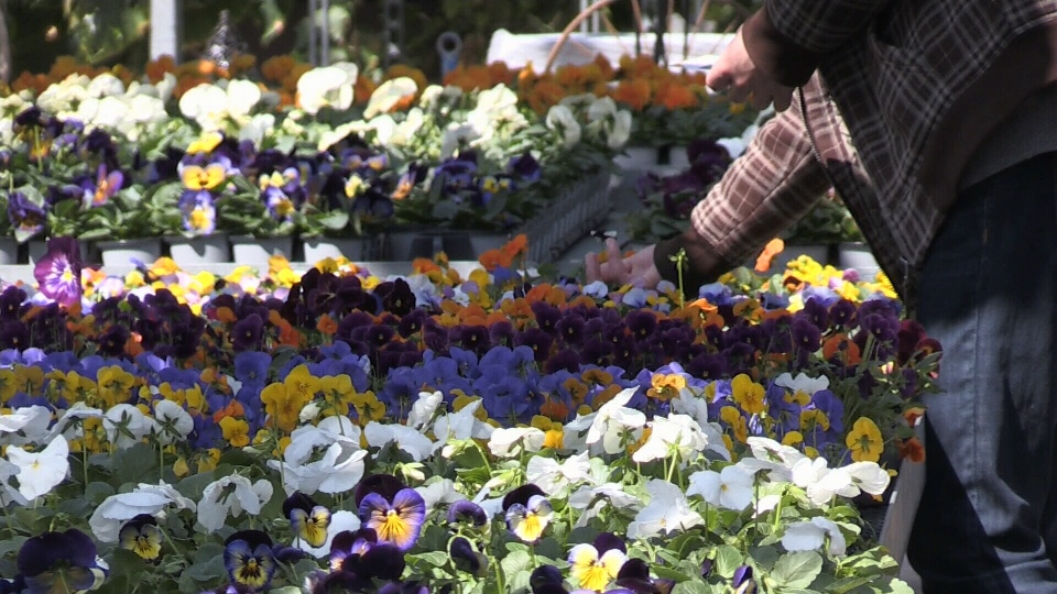 Pansies at garden centre