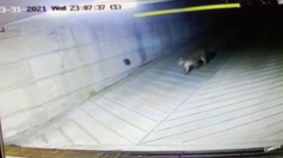 Cougar enters B.C. parkade