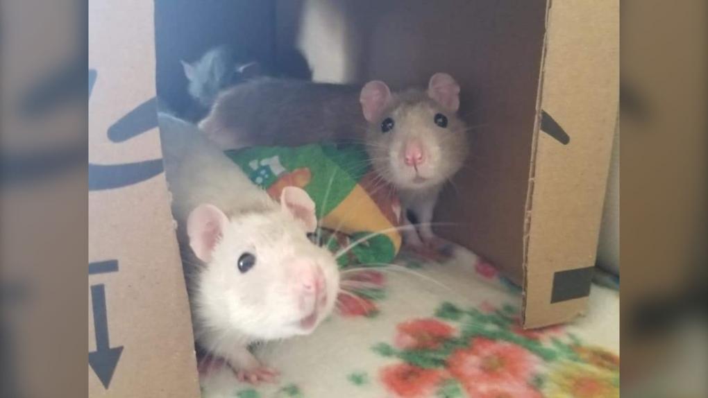 Rescued rats
