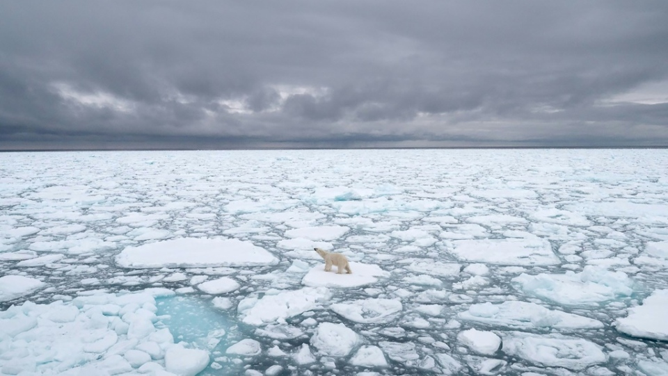 Many polar bears are already facing a climate-driven threat as dwindling sea ice cuts short the time they have to hunt seals, their preferred prey. (AFP)