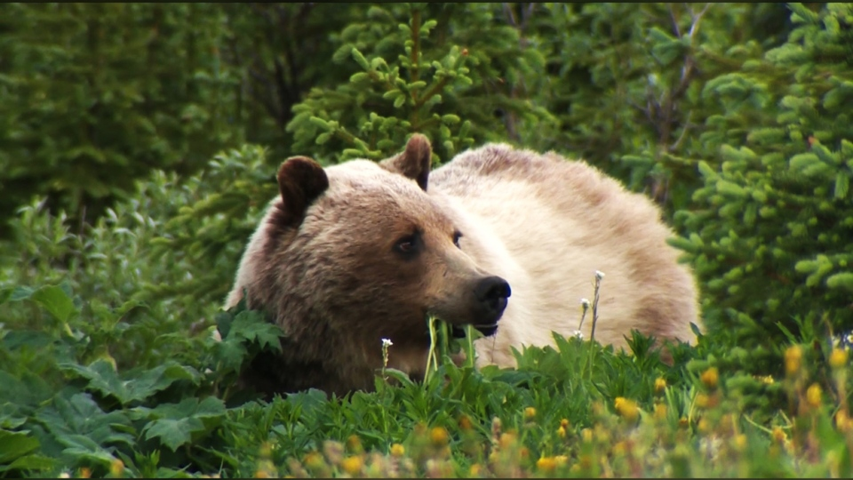 grizzly, bear, endangered, species, designation