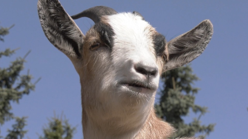 Dill the goat