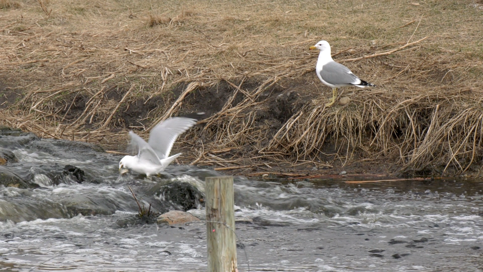 A seagull waits after another grabs a Prussian carp from the treated effluent outfall at Frank Lake.