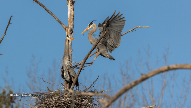 Great Blue Herons making their nest this morning near Golden Lake. (Nora Gordon/CTV Viewer)