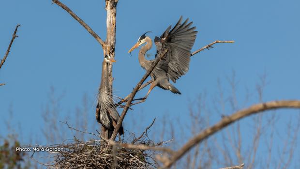 Great Blue Herons making their nest this morning near Golden Lake. (Nora Gordon/CTV Viewer)