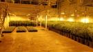 OPP seized thousands of cannabis plants from an address in Tillsonburg. (Supplied)