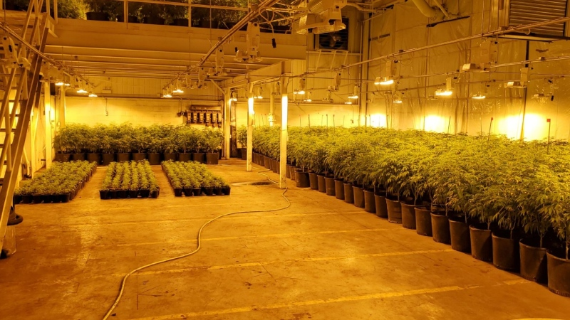 OPP seized thousands of cannabis plants from an address in Tillsonburg. (Supplied)