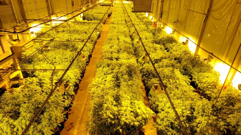 OPP seized thousands of pot plants from a location in Tillsonburg, Ont. (Supplied)
