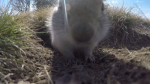 A ground squirrel was quite curious about Chad Hills' video camera. (Chad Hills/CTV News)
