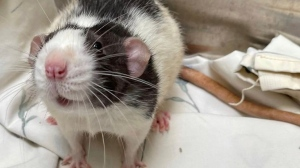 One of the rats surrendered to the Guelph Humane Society (Supplied)