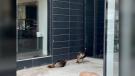 Turkeys spotted in Downtown Winnipeg. (Source: Kate Fenske)