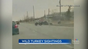 Flocks of turkeys spotted in Winnipeg