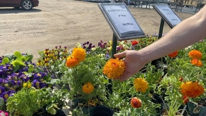 Ranunculus for sale at Sunset Nursery in Pembroke, Ont. (Dylan Dyson/CTV News Ottawa)