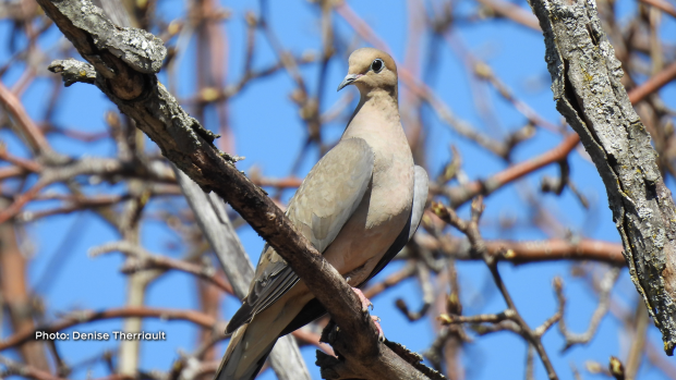 Graceful Mourning Dove in Pontiac, Québec.  (Denise Therriault/CTV Viewer)