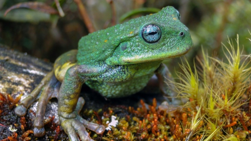 An image provicded by Peru's state service for the protection of natural areas of a new species of frog found in Peru's Amazon jungle. (AFP)